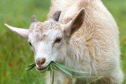 Идея 62: Ферма за млечно козевъдство